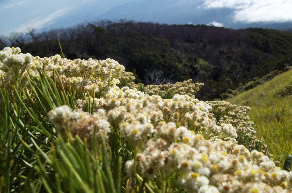 Bunga Edelweis di Gunung Slamet